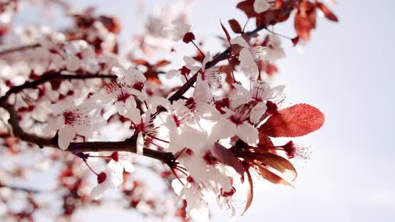 Cherry Blossom Waying Wind Closeup Background