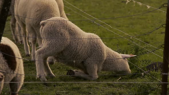 Thumbnail for Baby Sheep Eating Green Grass behind Wire Fence in a Field