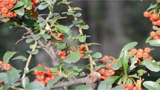 Thumbnail for Berries