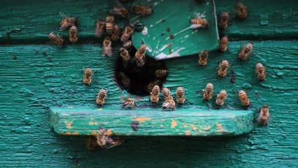 Thumbnail for Bees Flying In And Out Beehive