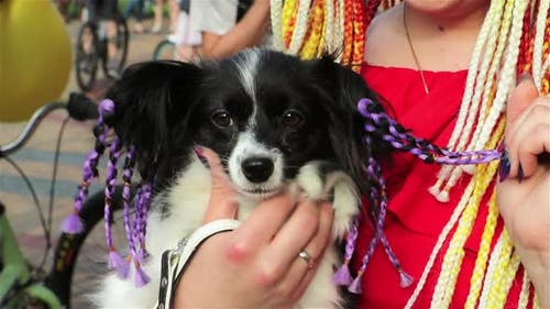 Black and white dog with purple pigtails on the hands of the girl. Girl's hand stroking the dog.
