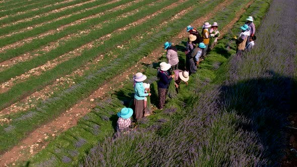 Farmers Collecting Lavender