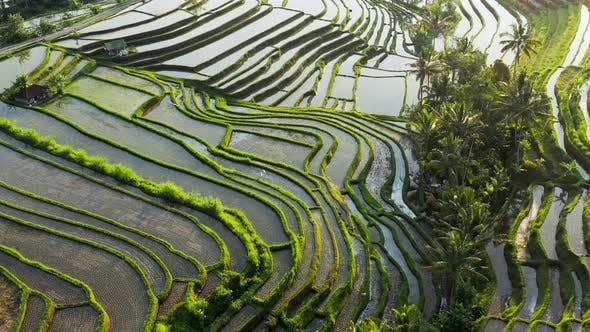 Aerial Top View Of Water Filled Paddy Rice Terraces, Green Agricultural Fields In Countryside