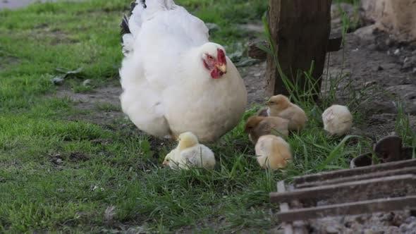 Gardienne de poule apprenant à ses poulets picotant des insectes sur l'herbe. HD 60 ips