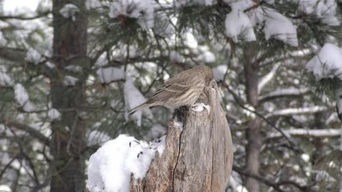 House Finch Female Bird or Songbird on Stump or Snag Foraging in Winter Snow