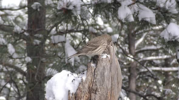 Thumbnail for House Finch Female Bird or Songbird on Stump or Snag Foraging in Winter Snow