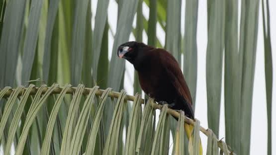 Montezuma Oropendola Adult Lone Perched Looking Around in Costa Rica