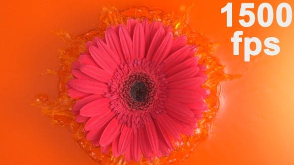 Thumbnail for Pink Daisy Gerbera Flower