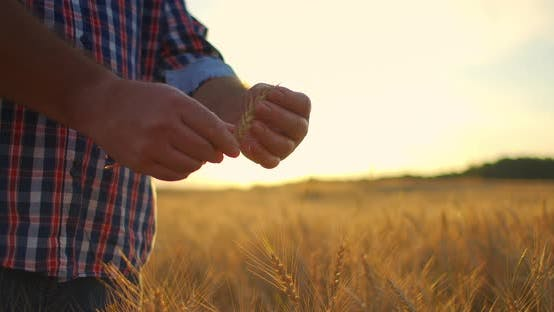 Thumbnail for A Close-up of a Male Farmer Holds Wheat in the Sunlight and at Sunset Examines Its Spikes. Brushes