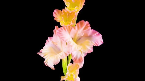 Time lapse of Opening Gladiolus Flower