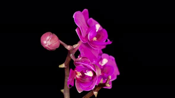 Thumbnail for Blooming Purple Orchid Phalaenopsis Flower