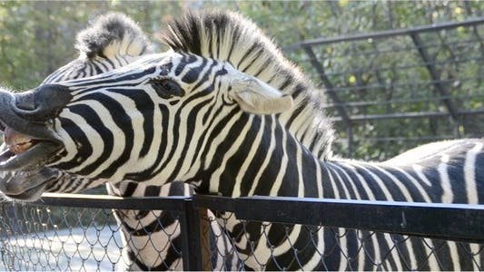 Thumbnail for Zebra 4