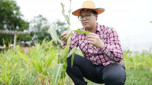 Farmer checking in cornfield.