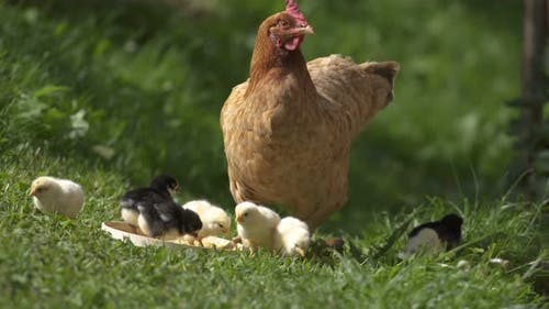 Mother Hen and Chicks