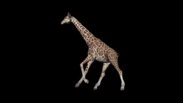 Thumbnail for Giraffe Run