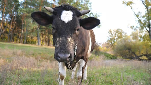 Thumbnail for Portrait of Curious Black Cow Standing at Lawn and Looking Into Camera, Cute Friendly Animal Grazing