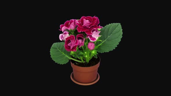 Thumbnail for Time-lapse of blooming red gloxinia flower