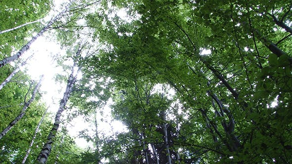 Thumbnail for View from Ground of High Trees in Forest