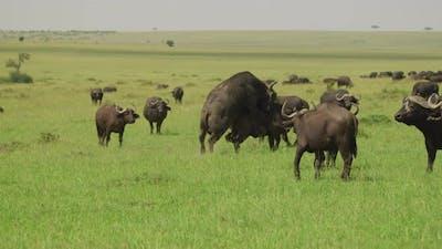 African buffalo mating
