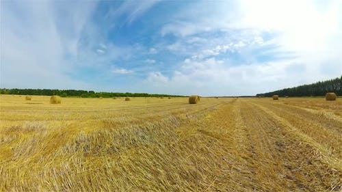 Field with Haystacks After Harvest