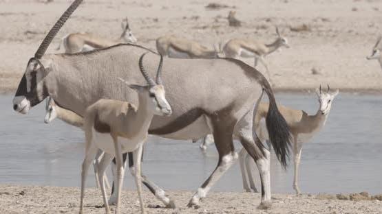 Oryx Walking