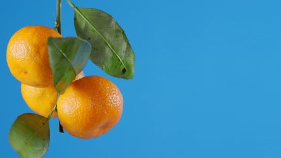 Tangerines Hanging on a Branch with Foliage.