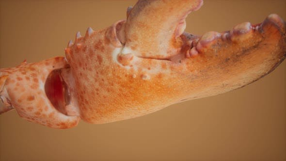 Lobster Claw in Macro