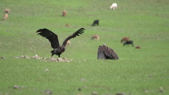Vultures Spreads Wings
