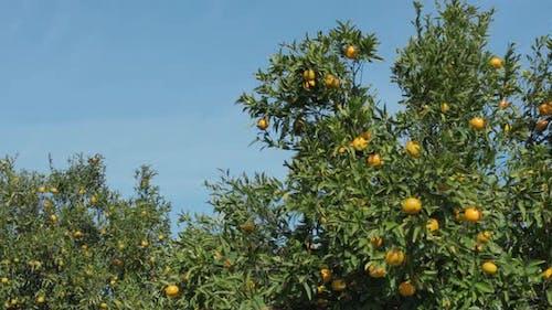 Mandarin trees in Calabria Italy