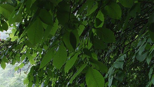 Thumbnail for Green Alder Swaying Leaves