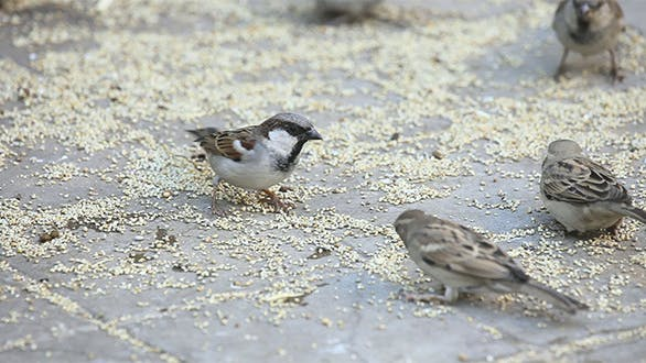 Feasting Sparrows
