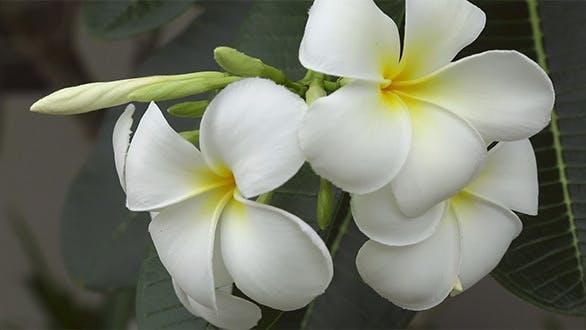 Thumbnail for White Plumeria