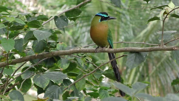 Thumbnail for Blue-crowned Motmot Adult Lone Flying Flight Dry Season in Belize