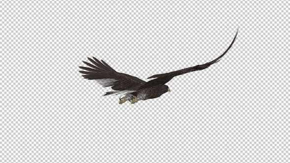 Eurasian White-tailed Eagle - Flying Loop - Back Angle View