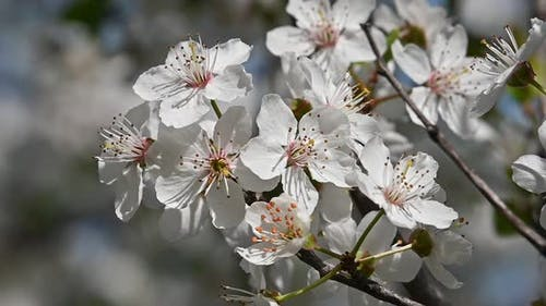Close up white cherry blossom over green