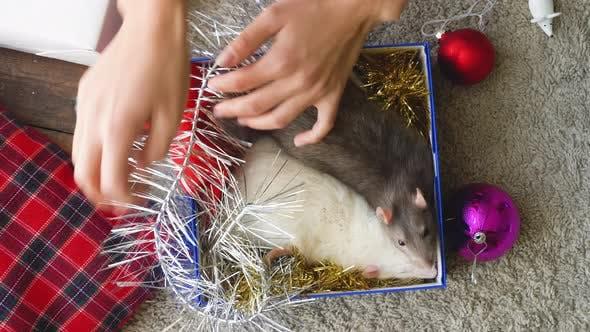 Thumbnail for Woman Put Two Rats Into Christmas Box