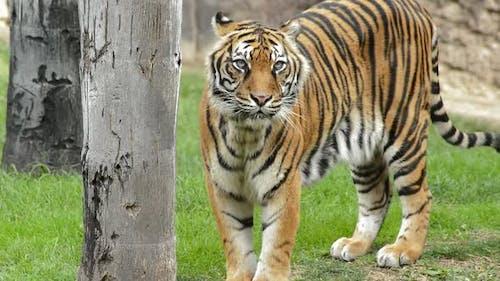 Sumatran Tiger in a Natural Park