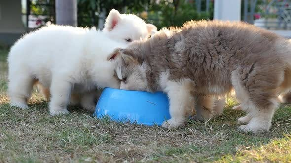 Cute Siberian Husky Puppies Drinking Water