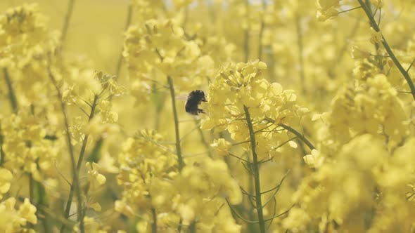 Bumblebee Pollinating on Flowers in a Canola Field in Jutland