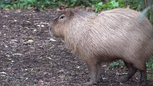 South America Capybara Alone Standing