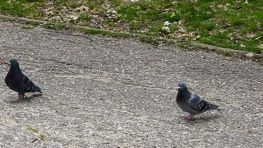 Thumbnail for Pigeons