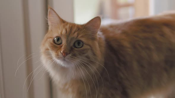 Thumbnail for Cute Ginger Cat Is Sitting on Window Sill. Close Up Slow Motion Footage of Fluffy Pet.