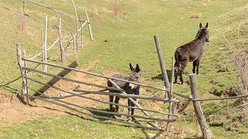 Two Donkeys Near Hurdle