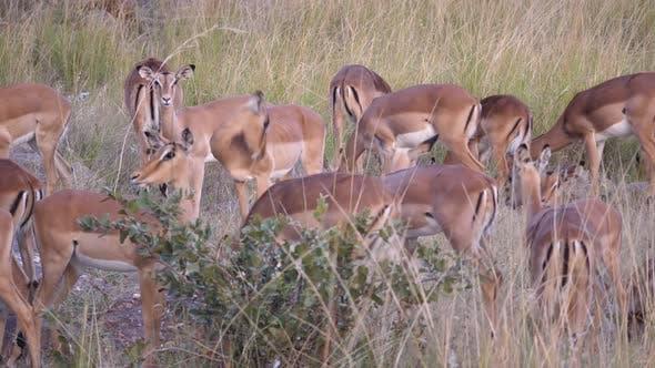 Thumbnail for Herd of female impalas