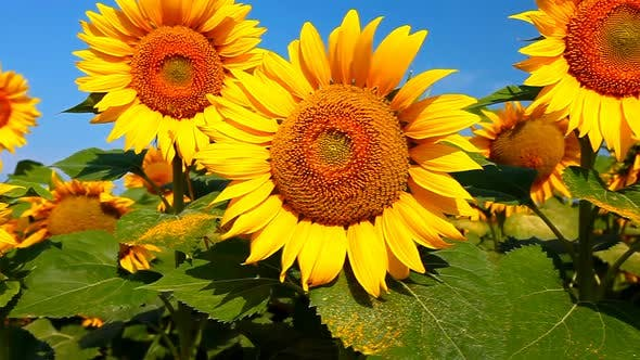 Cover Image for field of sunflowers and cloudy sky