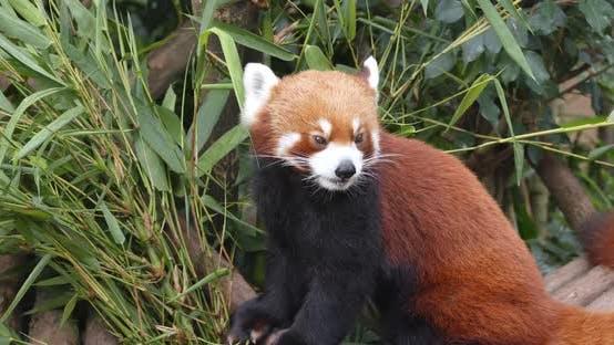 Thumbnail for Red panda at zoo