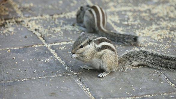 Thumbnail for Chipmunks