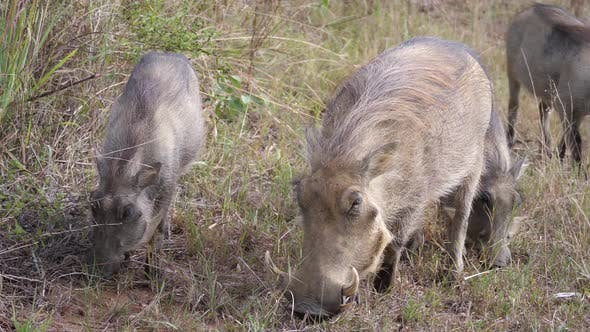 Thumbnail for Herd of warthogs eating grass