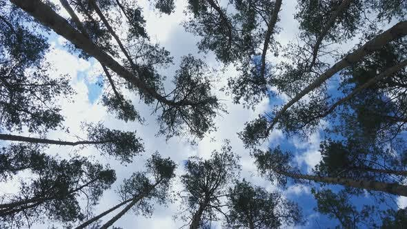 Bottom View Of Tall Old Pine Trees 4