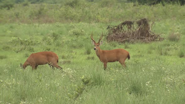 Marsh Deer Buck Doe Adult Pair Breeding Chasing Trying To Mount
